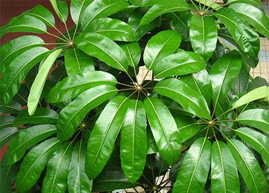 Зеленые листья шефферы