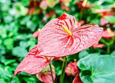 Цветок антуриума