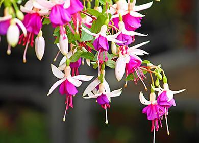 Свисающие бело-розовые цветы