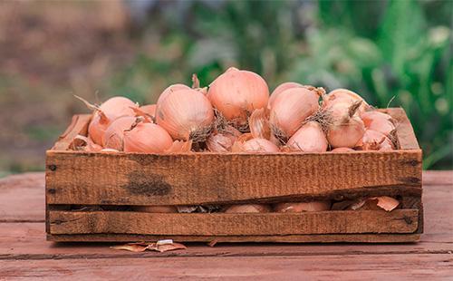 Как хранить лук в домашних условиях летом и зимой, в погребе и в квартире: температура, влажность