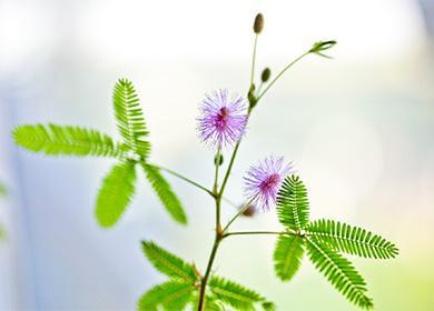 Как ухаживать замимозой стыдливой: комфортные условия для растения синтеллектом