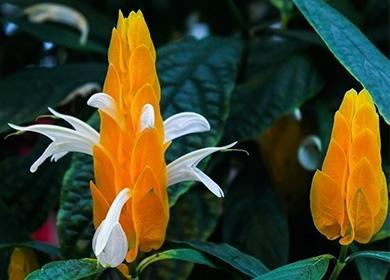 Как ухаживать запахистахисом: приручаем тропического привереду