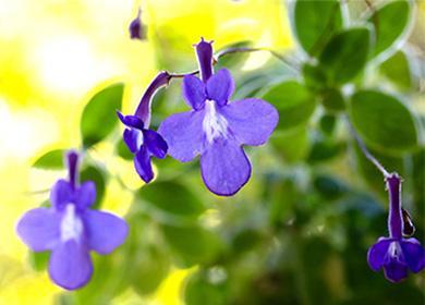 Как ухаживать застрептокарпусом, чтобы обеспечить обильное цветение круглый год