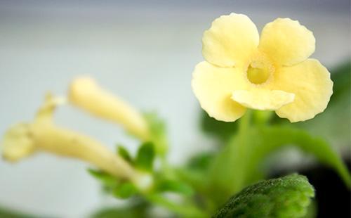 Желтый цветок эписции