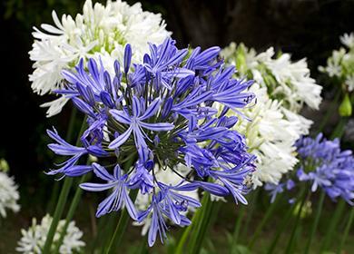 Синие и белые соцветия