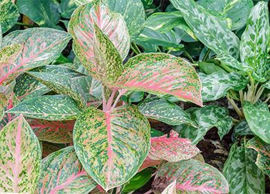 Зеленые листья аглаонемы