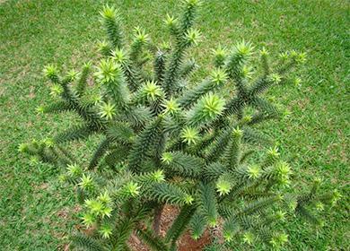 Араукария хвойное растение