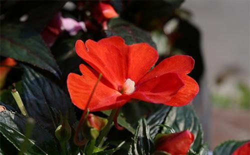 Красный цветок бальзамина