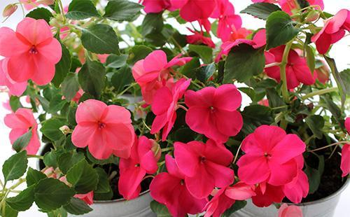 Розовые цветы бальзамина