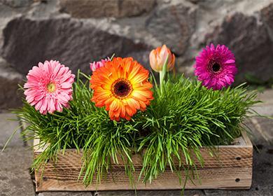 Как ухаживать за герберой комнатной, и можно ли переместить цветок с клумбы в горшок