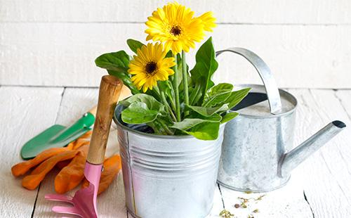 Гербера комнатная: уход в домашних условиях, выращивание из семян, цветение