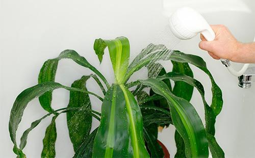 Как ухаживать за драценой Сандера в домашних условиях: формирование, размножение, подкормки