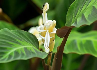 Молитвенный цветок крупным планом