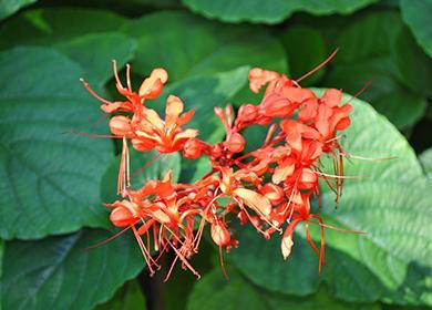 Как ухаживать заклеродендрумом: приручаем своенравное «дерево судьбы»