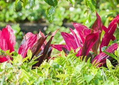 Бордовые листья кордилины