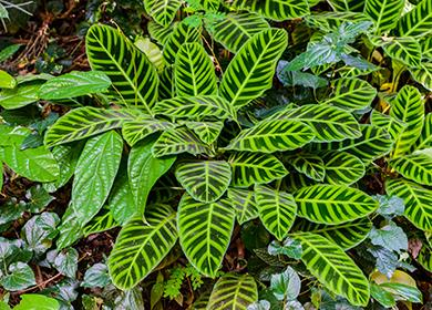 Как ухаживать за ктенантой: в чем оригинальность ее листьев, и какие виды приживутся в квартире