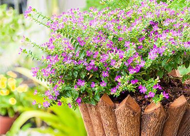 Как ухаживать закуфеей, чтобы продлить цветение «сигаретного дерева»