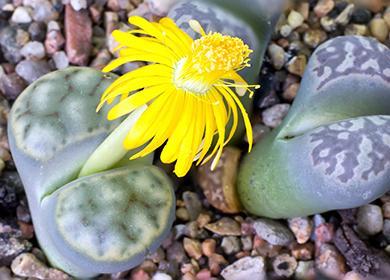 Жёлтый цветок суккулента