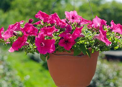 Как ухаживать за петуньей: выращиваем «принцессу сада» в квартире