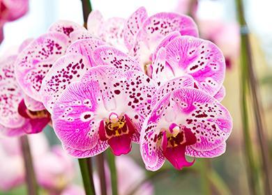 Лиловые цветы орхидеи Фаленопсис