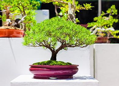 Как ухаживать за бонсай, и за сколько лет можно вырастить дерево «на подносе»