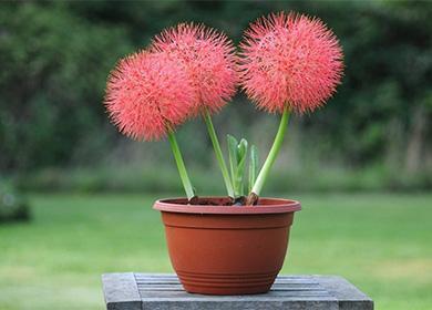 Цветок гемантус: выращиваем олений язык с пышными помпонами
