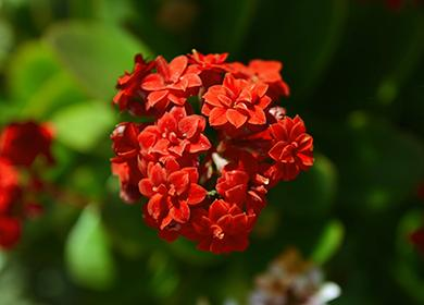 Красный цветок каланхоэ