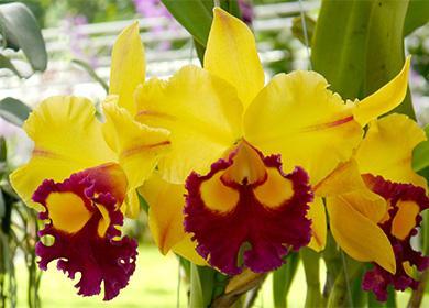 Желтые цветы каттлеи