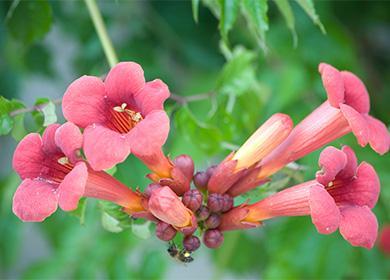 Колерия цветет