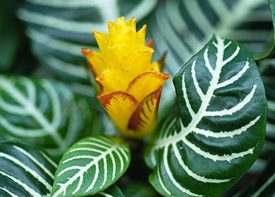 Жёлтый цветок кротона