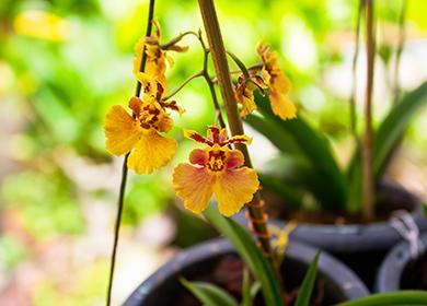Жёлтые цветы тигровой орхидеи