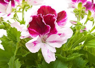Яркий цветок пеларгонии крупноцветковой