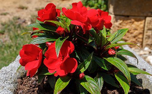 Красные цветы бальзамина