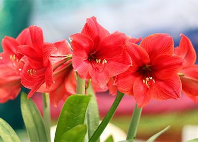 Амариллис: как ухаживать ипродлить цветение