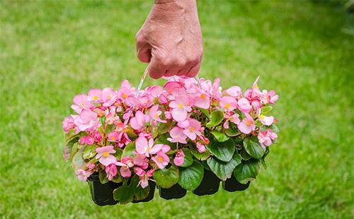 Бегония вечноцветущая: уход в домашних условиях после покупки и во время цветения, подкормка, размножение, пересадка отзывы