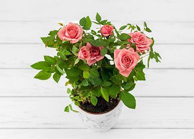 Комнатная роза: как ухаживать, ихитрости для регулярного цветения