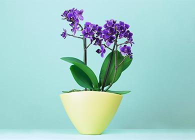 Синяя орхидея: крашеная или нет, последствия изменения цвета, техника его сохранения, полив, освещение, грунт, размножение