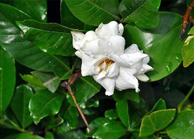 Растение стефанотис