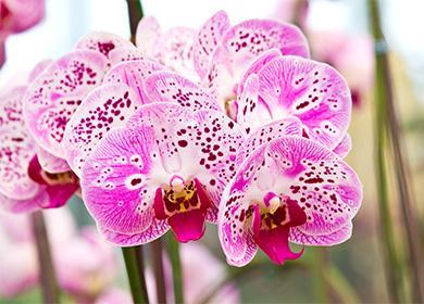 Орхидея: как ухаживать вдомашних условиях, правила карантина, полива, подкормки, стимуляция цветения