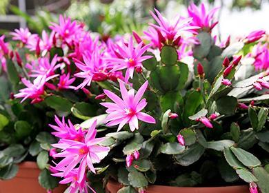 Розовые цветы рипсолидопсуса