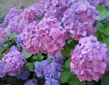 Как правильно выращивать саженцы гортензии