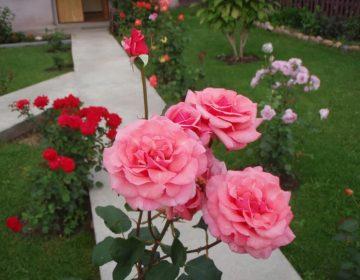 Оформление садового участка и загородного дома розами